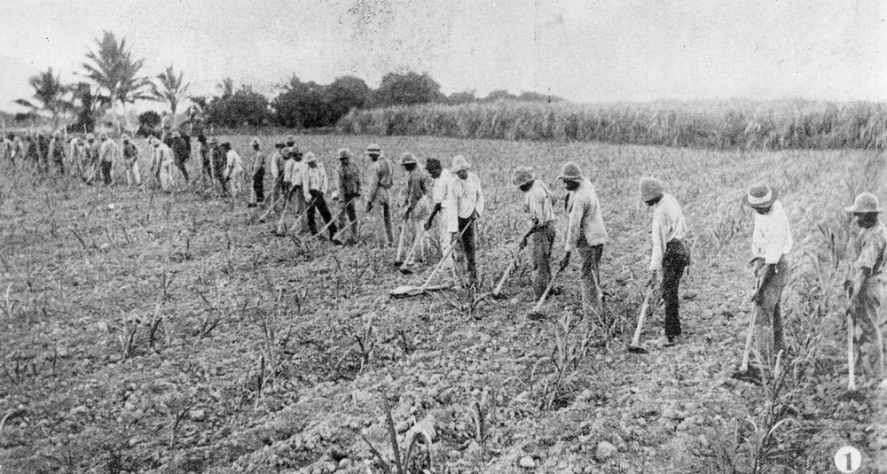 "Archival Image: ""Australian South Sea Islanders hoeing a cane field in the Herbert River region, Queensland, 1902"" Source: State Library Qld"